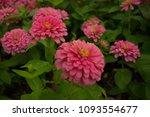pink gerbera daisies is the... | Shutterstock . vector #1093554677
