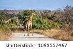 giraffe in kruger national park ...   Shutterstock . vector #1093557467