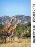 giraffe in kruger national park ...   Shutterstock . vector #1093557473