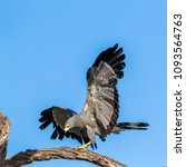Small photo of African harrier-hawk in Kruger national park, South Africa ; Specie Polyboroides typus family of Accipitridae