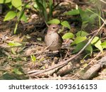 thrush nightingale singing on... | Shutterstock . vector #1093616153
