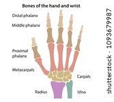 bones of the wrist with main... | Shutterstock .eps vector #1093679987