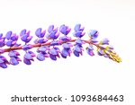 lupinus isolated on white... | Shutterstock . vector #1093684463