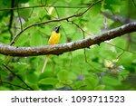 grey wagtail  motacilla cinerea  | Shutterstock . vector #1093711523