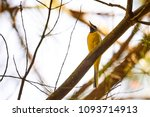 grey wagtail  motacilla cinerea  | Shutterstock . vector #1093714913