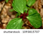 Small photo of A single early spring red Trillium erectum partially open or just beginning to spread its curled pedals.