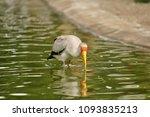 the milky stork  mycteria... | Shutterstock . vector #1093835213