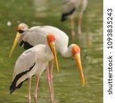 the milky stork  mycteria... | Shutterstock . vector #1093835243