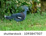 the victoria crowned pigeon | Shutterstock . vector #1093847507