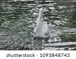 the great white pelican ... | Shutterstock . vector #1093848743