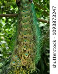 the peafowl peacock feathers... | Shutterstock . vector #1093873247
