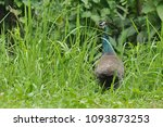 the peafowl peacock feathers... | Shutterstock . vector #1093873253