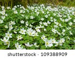 White wood anemone flowers - stock photo