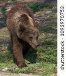 Small photo of Brown bear (Ursus arctos)