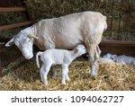 new born lamb suckling milk... | Shutterstock . vector #1094062727