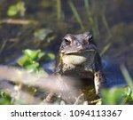 eastern american toad in... | Shutterstock . vector #1094113367