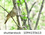 thrush nightingale  bird. | Shutterstock . vector #1094155613