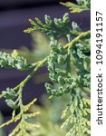 Small photo of Beautiful green christmas leaves of Thuja trees. Thuja occidentalis is an evergreen coniferous tree.