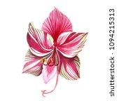 pink striped amaryllis. floral...   Shutterstock . vector #1094215313