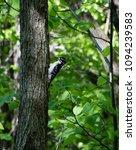 Small photo of American three-toed woodpecker