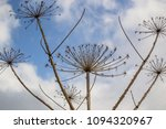 dry branches of a hogweed on a... | Shutterstock . vector #1094320967