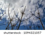 dry branches of a hogweed on a... | Shutterstock . vector #1094321057