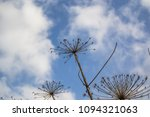 dry branches of a hogweed on a... | Shutterstock . vector #1094321063