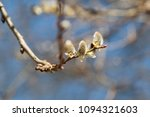 willow branch in the spring in... | Shutterstock . vector #1094321603