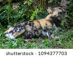 Small photo of African hunting dog in the bush. Latin name - Lycaon pictus