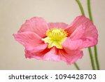 poppy or dancing flower   Shutterstock . vector #1094428703
