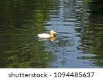 white duck. young white ducks... | Shutterstock . vector #1094485637