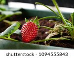 strawberry fruit on the plant... | Shutterstock . vector #1094555843