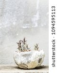 Small photo of huernia in a cement pot with cement wall background
