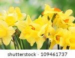 Beautiful Yellow Daffodils  On...