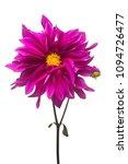 purple dahlia flower macro...   Shutterstock . vector #1094726477