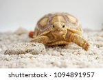 close up baby african spurred... | Shutterstock . vector #1094891957