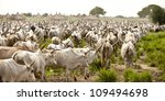 Huge cattle drive in South Sudan - stock photo