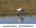 eurasian or common spoonbill in ... | Shutterstock . vector #1095054647