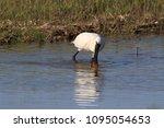 eurasian or common spoonbill in ... | Shutterstock . vector #1095054653