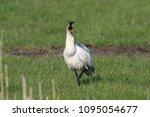 eurasian or common spoonbill in ... | Shutterstock . vector #1095054677