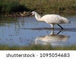 eurasian or common spoonbill in ... | Shutterstock . vector #1095054683