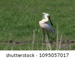 eurasian or common spoonbill in ... | Shutterstock . vector #1095057017