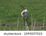 eurasian or common spoonbill in ... | Shutterstock . vector #1095057023