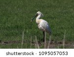 eurasian or common spoonbill in ... | Shutterstock . vector #1095057053