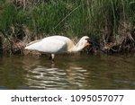 eurasian or common spoonbill in ... | Shutterstock . vector #1095057077