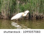 eurasian or common spoonbill in ... | Shutterstock . vector #1095057083