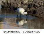 eurasian or common spoonbill in ... | Shutterstock . vector #1095057107