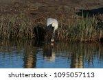 eurasian or common spoonbill in ... | Shutterstock . vector #1095057113