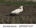 eurasian or common spoonbill in ... | Shutterstock . vector #1095057137