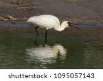 eurasian or common spoonbill in ... | Shutterstock . vector #1095057143